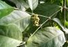 Dây gắm - cây thảo dược quý ít được biết đến