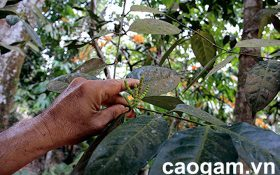 Cao gắm – bài thuốc quý hỗ trợ điều trị bệnh Gout & Khớp của người Tày Yên Bái