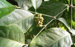 Dây gắm – cây thảo dược quý ít được biết đến